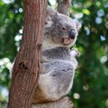 Grant success to help fight blindness in koalas