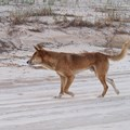 Academics gain funding for dingo research