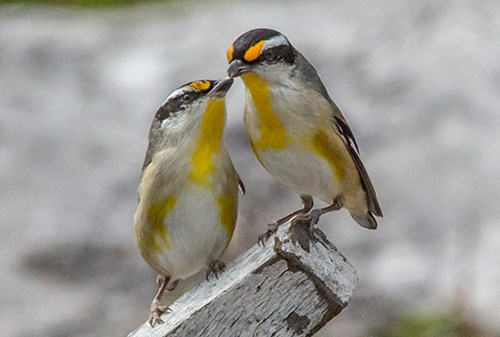 A pair of Striated Pardalotes