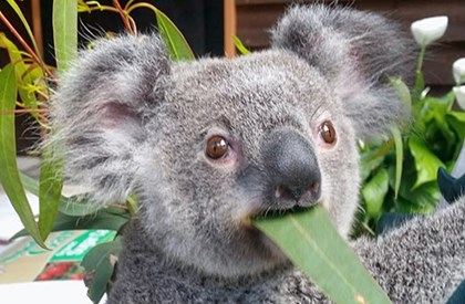 Genecology researchers have released a new eucalypt, Mt Beerwah mallee for urban koalas