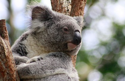 Koala at Qld Zoo